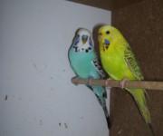 papugi_faliste_wystawowe